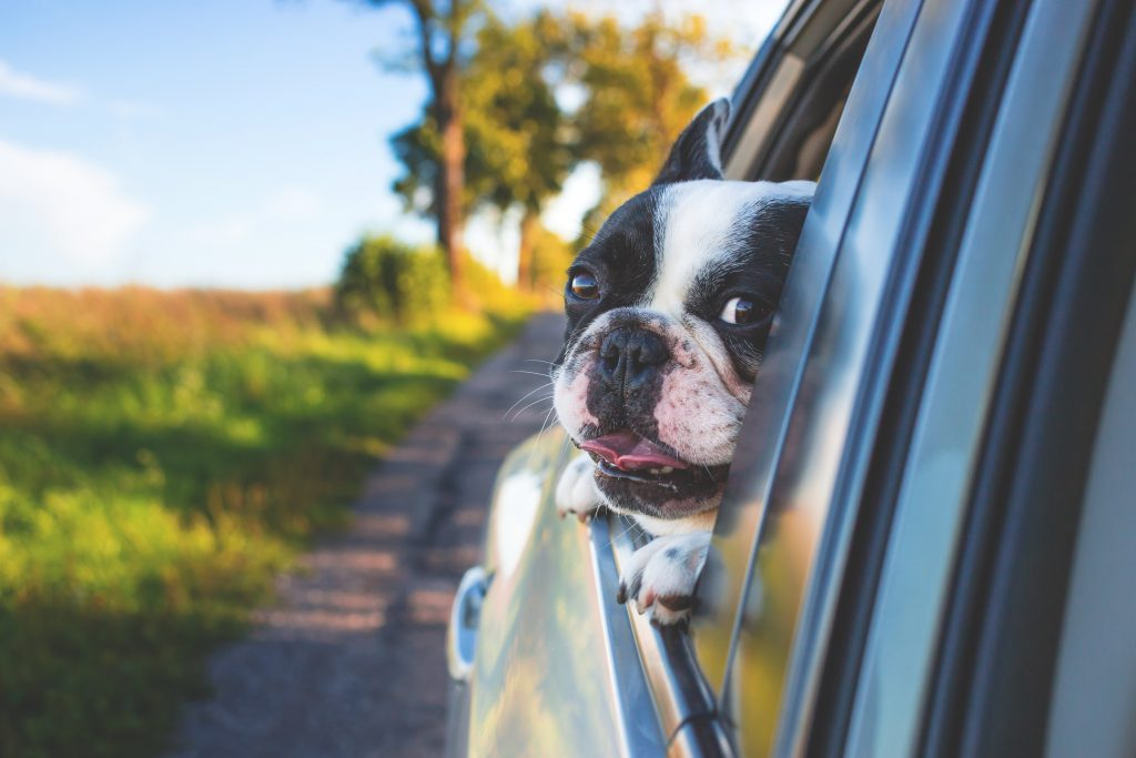 Auto insurance -- Black and white Boston Terrier peeks out of car window as car drives on road.