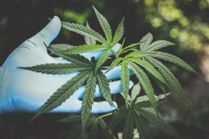 Marijuana plant - legalized marijuana creates complications for workplace policies